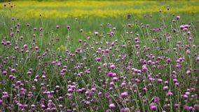Campo de flores roxo no verão vídeos de arquivo