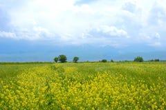 Campo de flores salvajes amarillas en las montañas Imágenes de archivo libres de regalías
