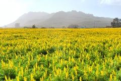 Campo de flores selvagens amarelas fotos de stock