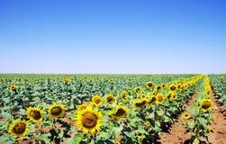 Campo de flores de Sun en el sur, Portugal Foto de archivo libre de regalías