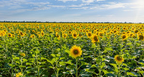 Campo de flores de Sun en Tailandia Girasoles Imagen de archivo