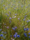 Campo de flores de Ucrania y paisaje azules del bosque Foto de archivo libre de regalías