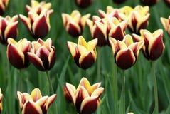 Campo de flores Varicolored del tulipán imagen de archivo libre de regalías