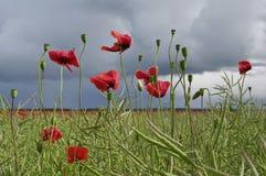 Campo de flores vermelhas da papoila de milho fotos de stock royalty free