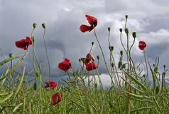 Campo de flores vermelhas da papoila de milho imagem de stock royalty free