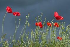 Campo de flores vermelhas da papoila de milho imagens de stock royalty free