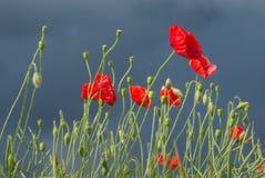 Campo de flores vermelhas da papoila de milho imagens de stock