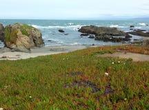 Campo de flores vermelhas na praia de Fort Bragg com rochas e ondas no fundo - da viagem por estrada estrada 1 para baixo Imagem de Stock