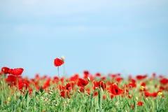 Campo de flores vermelho da papoila Foto de Stock