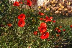 Campo de flores vermelho da papoila, fim acima Fotografia de Stock