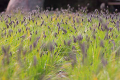 Campo de flores violeta Imagem de Stock Royalty Free