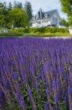 Campo de flores violeta bonito no lago Bled em Sunny Summer Day Foto de Stock Royalty Free
