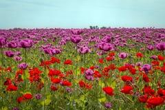 Campo de flores violeta da papoila Fotos de Stock Royalty Free