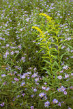 Campo de flores violeta e amarelo Fotos de Stock