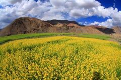 Campo de flores y del cielo amarillos del sol Foto de archivo