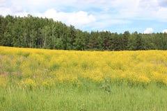 Campo de flores Zelenogorsk Territorio de Krasnoyarsk Foto de archivo