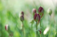 Campo de florescência bonito das tulipas imagem de stock royalty free