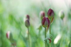 Campo de florescência bonito das tulipas na mola fotos de stock royalty free