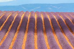 Campo de florescência da alfazema Fotografia de Stock