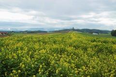 Campo de florescência da colza no outono Em um platô alto em Upper Austria, Europa fotos de stock