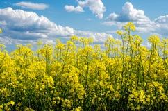 Campo de florescência da couve-nabiça na mola Imagens de Stock Royalty Free
