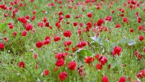 Campo de florescência da papoila após a chuva vídeos de arquivo