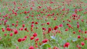 Campo de florescência da papoila após a chuva filme