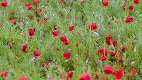 Campo de florescência da papoila após a chuva video estoque