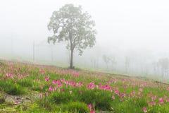 Campo de florescência das tulipas selvagens de Sião Foto de Stock Royalty Free