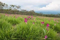 Campo de florescência das tulipas selvagens de Sião Fotografia de Stock Royalty Free