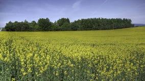 Campo de florescência de Canola Fotos de Stock Royalty Free