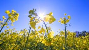 Campo de florescência de Canola Violação no campo no close up do verão filme