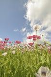Campo de florescência do Papaver imagens de stock