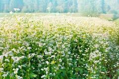 Campo do trigo mourisco Imagem de Stock