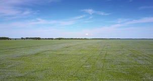 Campo de florescência infinito do trigo mourisco da vista aérea filme