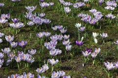 Campo de florescer açafrões roxos Foto de Stock Royalty Free