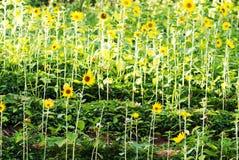Campo de girasoles amarillos Fotografía de archivo libre de regalías