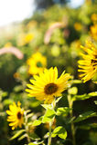 Campo de girasoles amarillos Foto de archivo