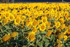 Campo de girasoles amarillos brillantes imagenes de archivo