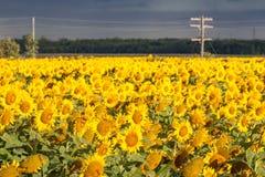 Campo de girasoles amarillos brillantes con la línea eléctrica foto de archivo