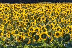 Campo de girasoles amarillos brillantes, visto de parte posterior imagenes de archivo