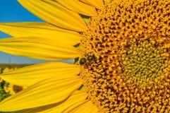 Campo de girasoles con la abeja Fotografía de archivo