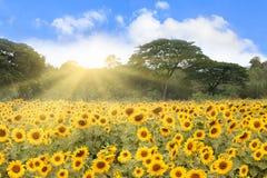 Campo de girasoles con rayos solares Foto de archivo libre de regalías