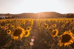 Campo de girasoles en una puesta del sol del fondo en el d?a de verano imágenes de archivo libres de regalías