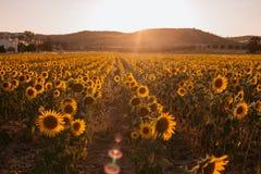 Campo de girasoles en una puesta del sol del fondo en el d?a de verano fotos de archivo