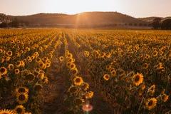 Campo de girasoles en una puesta del sol del fondo en el d?a de verano imagen de archivo libre de regalías