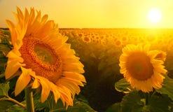 Campo de girasoles en verano con el sol naciente imágenes de archivo libres de regalías