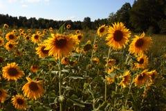Campo de girasoles florecientes fotografía de archivo libre de regalías