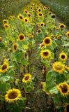 Campo de girasoles florecientes en puesta del sol del fondo Fotos de archivo libres de regalías