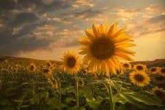 Campo de girasoles florecientes en una puesta del sol del fondo Foto de archivo libre de regalías